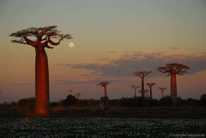 baobab allee_avenue of baobabs_morondava_south west_madagascar